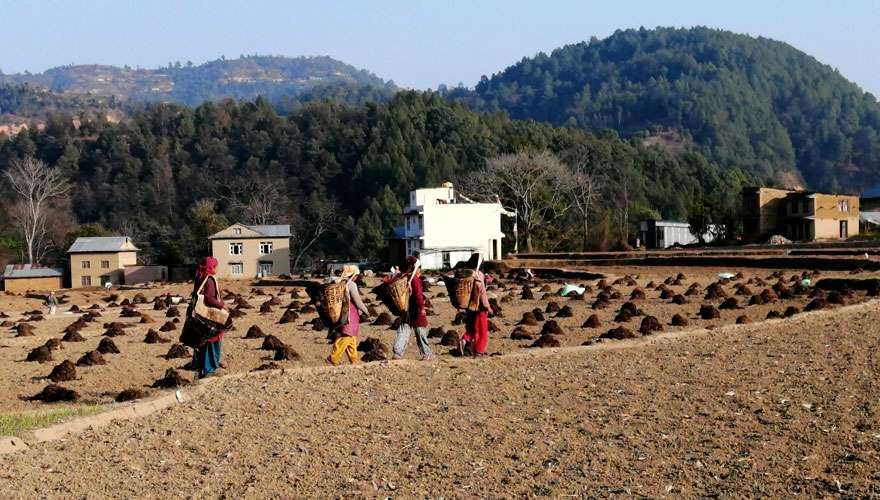 Local People working in potato field